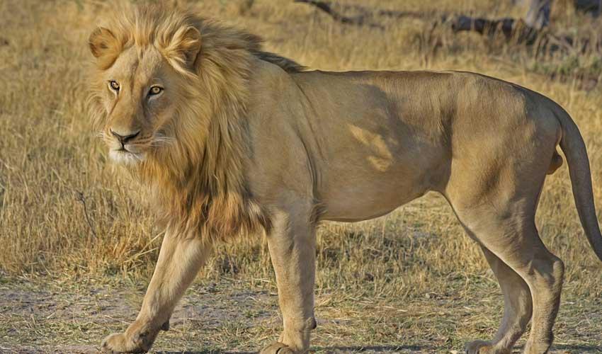 Thomas Cook : voir un lion en circuit Jet tours