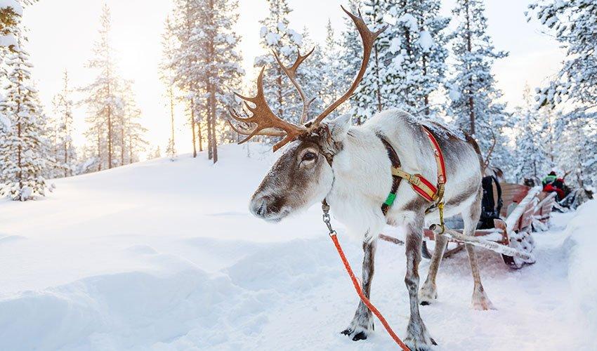 Safari en traîneau tiré par un renne en Laponie