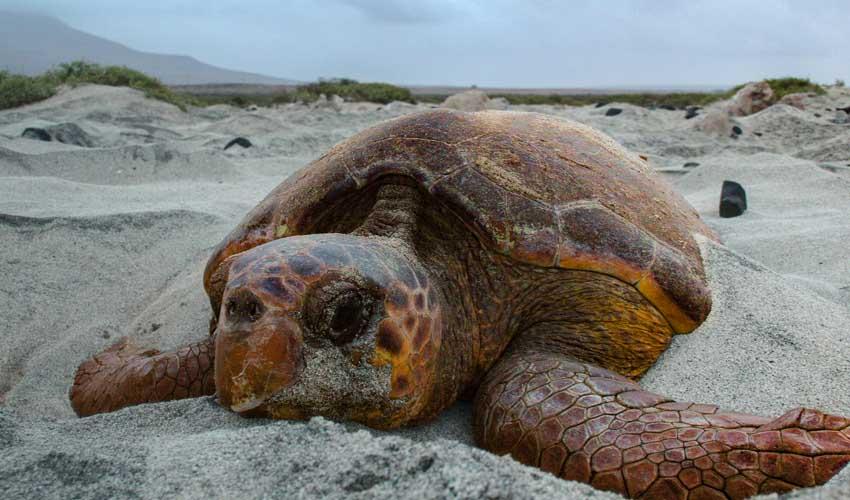 Tortue de mer au Cap-Vert avec Héliades