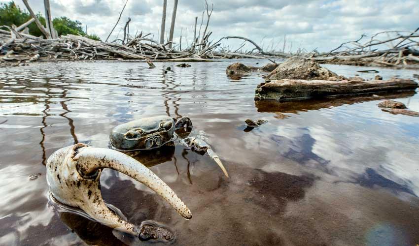 cuba crabe au milieu des mangroves du Parque Nacional Peninsula de Guanahacabibes