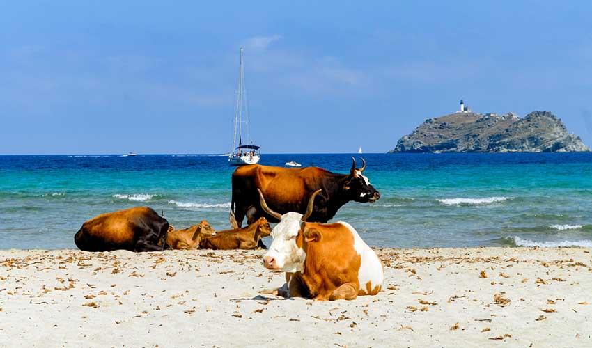Vaches sur la plage de Barcaggio en Corse