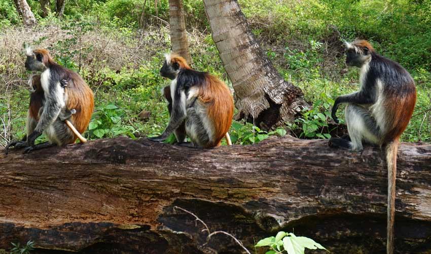 kappaclub tanzanie zanzibar sejour club en famille foret de jozani singes columbus rouges