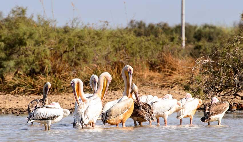 senegal a faire pelicans de la reserve naturelle du parc national de djoudj
