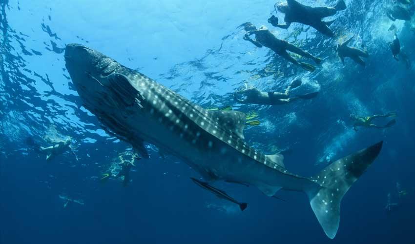 maldives a faire nager avec des requins baleines