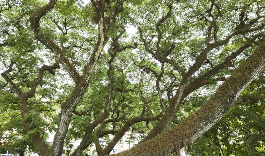 republique dominicaine a faire jarabacoa samanea saman dans central parc