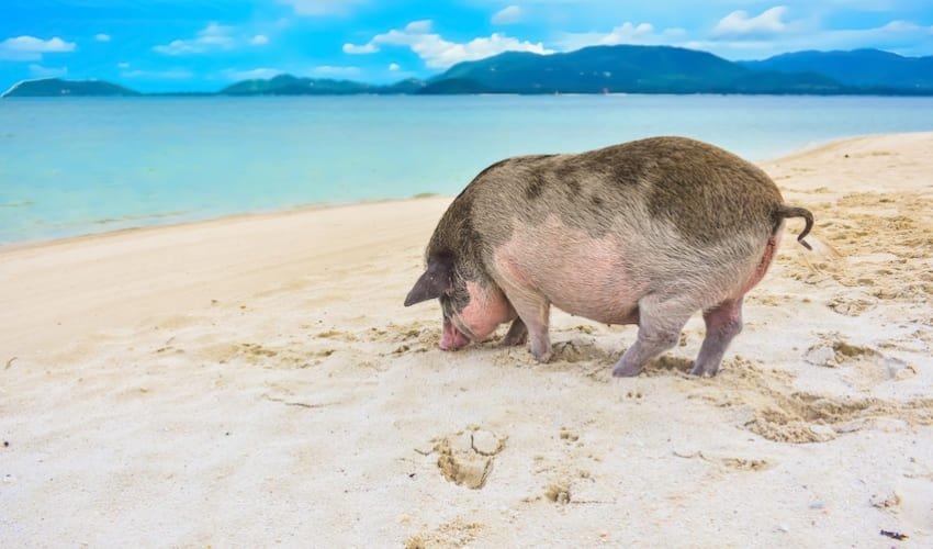 Rencontrer les cochons de Pig island